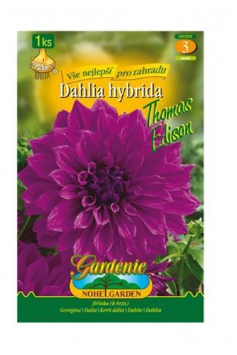 Dahlia Jiřina Thomas Edison 1 ks